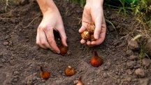 Hands planting bulbs