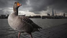 The picture, by Lee Acaster from Wortham, Suffolk, captures the goose in close-up by the Thames