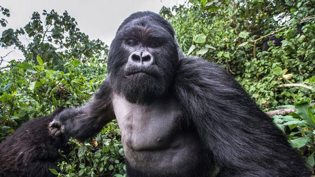 Gorilla punches photographer