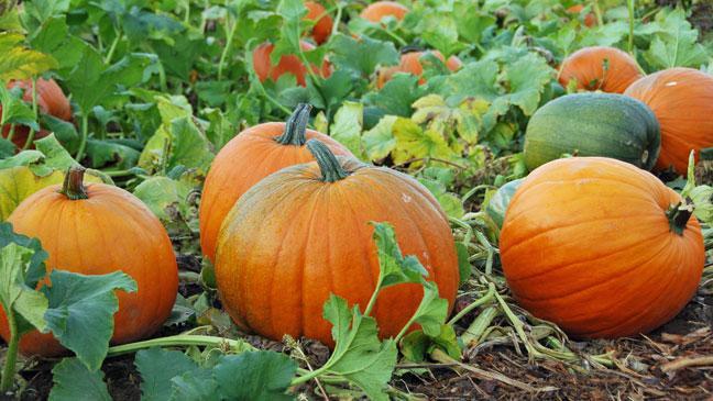 grow pumpkins - Growing Halloween Pumpkins