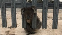 Hapless koala rescued for third time after getting stuck in a fence
