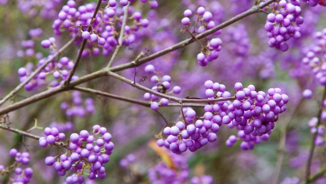 How To Grow 3 Of The Best Bushes For Berries Bt