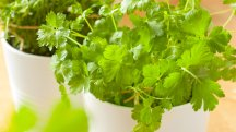 How to stop coriander from bolting: 5 theories tested