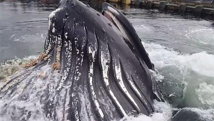 Humpback whale puts on spectacular show