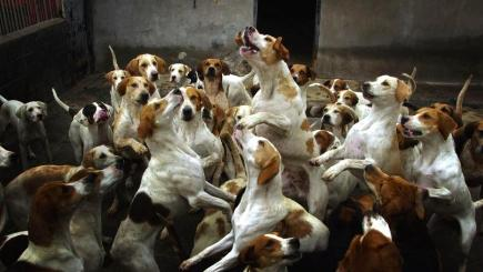 File photo of foxhounds
