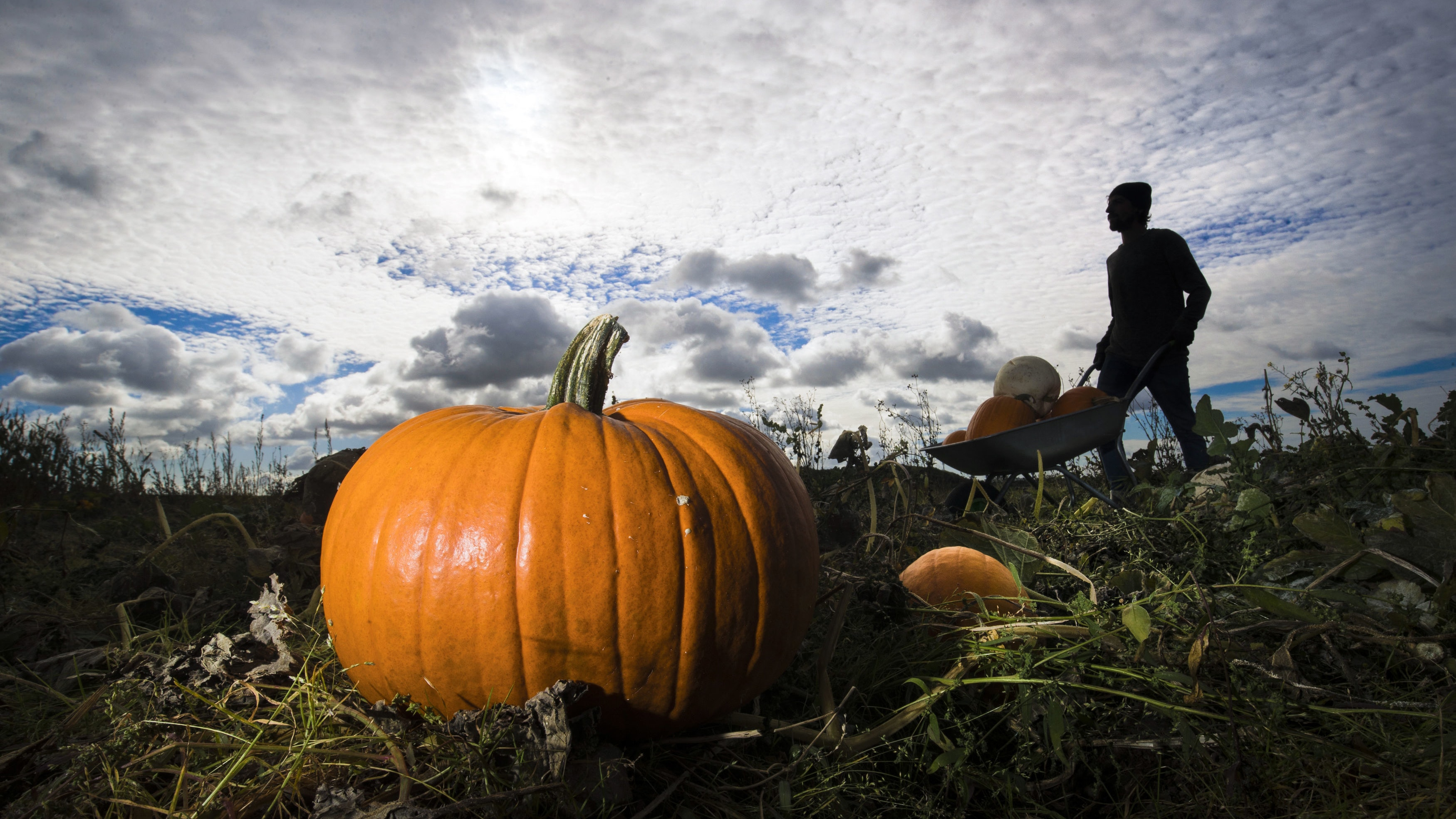 fans of halloween can get a jump start on prepping their halloween lanterns after one north yorkshire farm began harvesting their crop