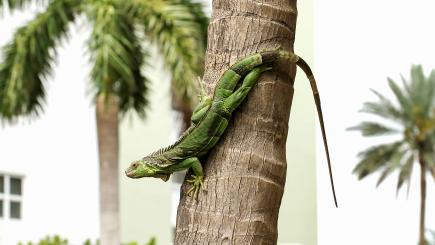 Watch out for falling temps - and falling iguanas