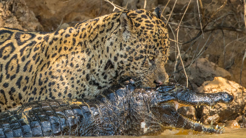 jaguar vs crocs