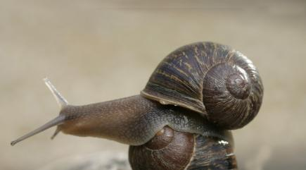 Shell-shocked snail ends up in love triangle