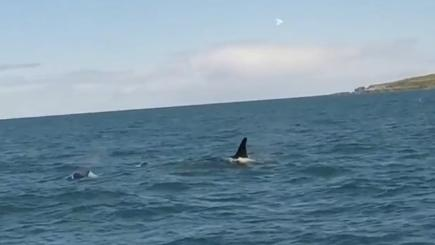 Watch killer whales spotted off the Scottish coast
