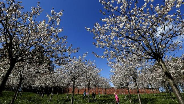 Late Flowering Trees Set For Glorious Blossom Display Bt