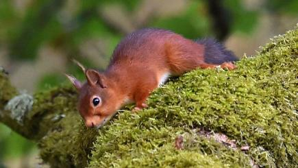 Leprosy has been found in red squirrels