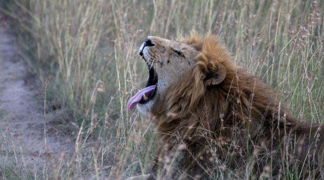 Lion Attacks Man On Safari - Best Image and Description