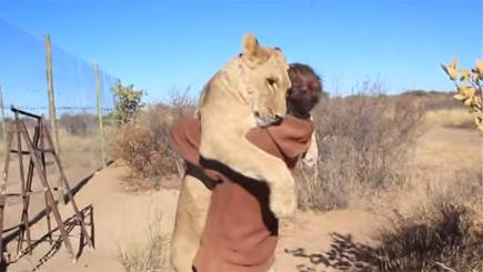Lion gives man bear hug
