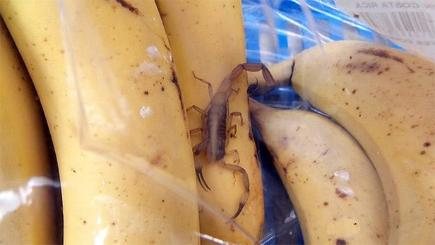 Live scorpion found in supermarket bananas