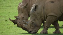Longleat pioneers test-tube rhinos in bid to save endangered species