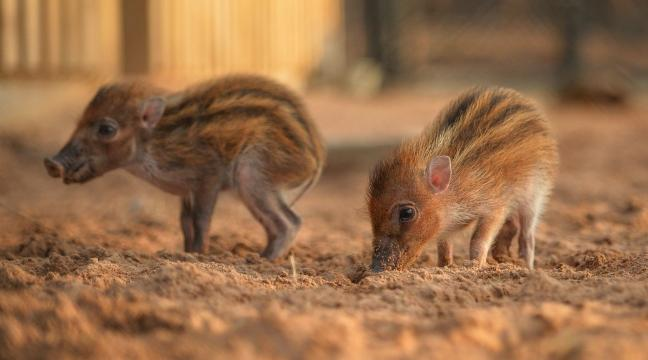 look at this pair of teeny tiny baby piglets running around and