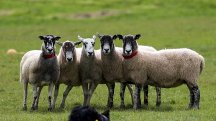 Look, it's Barack Obaa-ma… sheep learn to recognise celebrity faces
