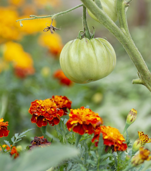 French marigolds (Tagetes patula) deter whitefly from visiting your greenhouse