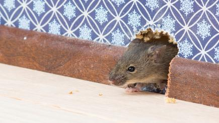 Mice, rats, dust mites and silverfish – who are you sharing your house with?