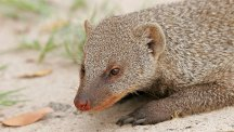 Mongoose fights off four lions