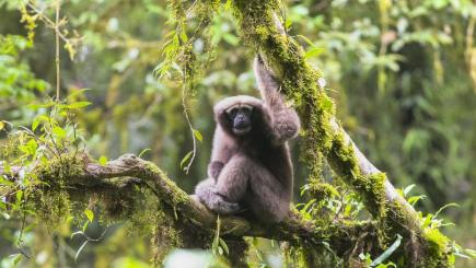 Chinese research team names new species of gibbon after Luke Skywalker