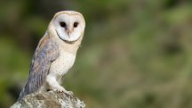 Owls have been found not to suffer from hearing loss as they get older