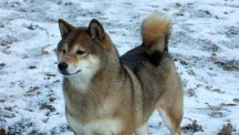 The missing Japanese Shiba Inu, named Sylvia