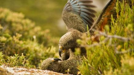Two juvenile kea parrots playing on the ground