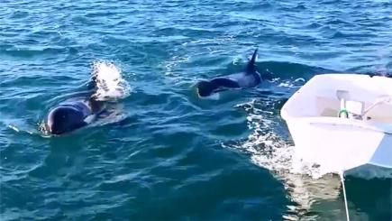Killer whales follow a dinghy attached to a yacht