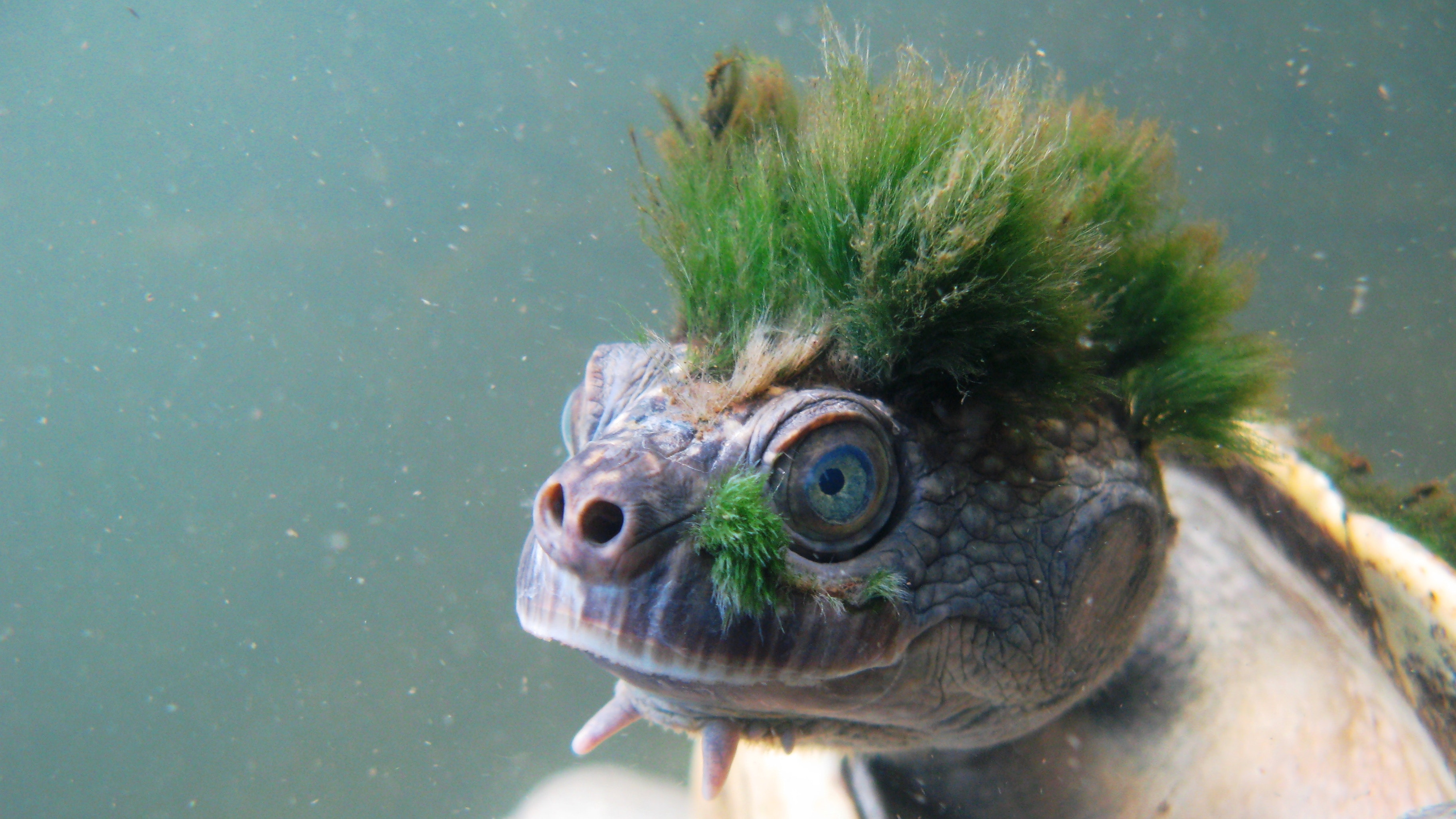 'Punk' turtle that breathes through its genitals added to endangered list