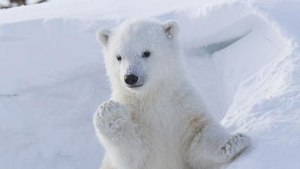 Polar bear strikes a pose
