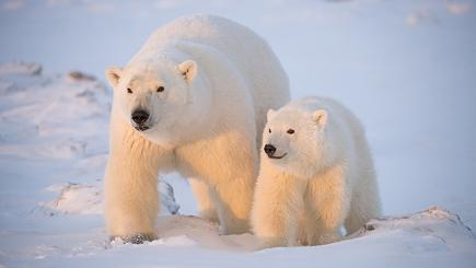 Adorable polar bears photographed at play