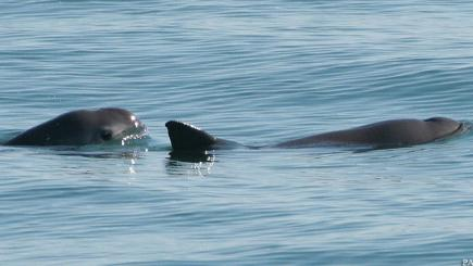 Mexico enlists dolphins to help endangered tiny porpoise