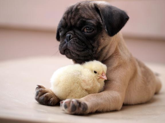 Lilac | Phoenixs Camp | Rose | Phoenixs Camp Pug-puppy-and-fluffy-chick-are-best-of-friends-136397048585203901-150324115501