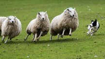Rounding up sheep successfully is a deceptively simple process, a study found