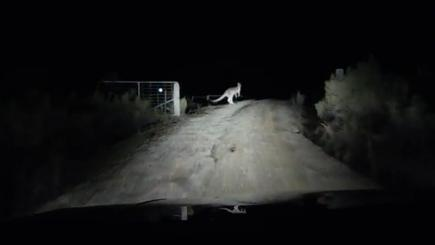 Roo'd awakening: driver is startled as kangaroo leaps out of the darkness onto his windscreen
