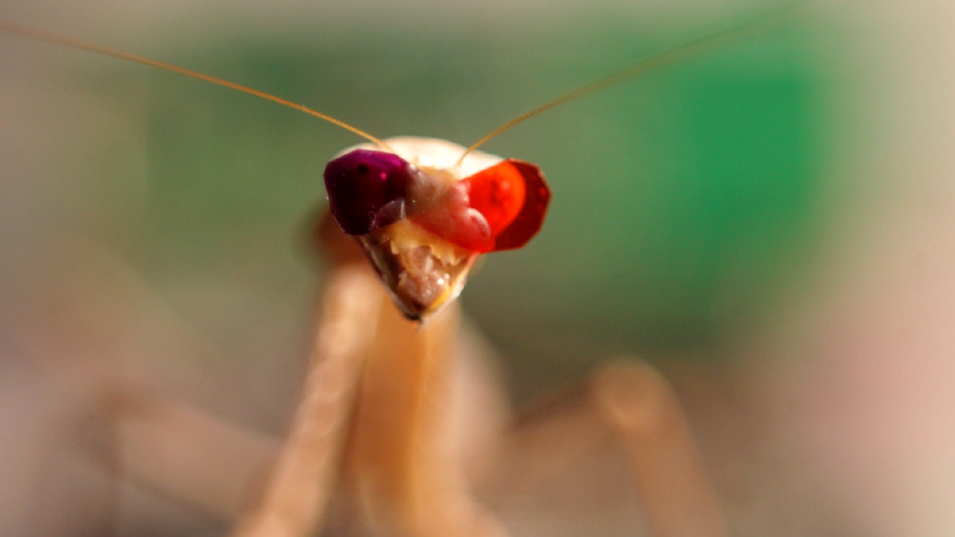 Praying mantis wears 3-D glasses to help advance science