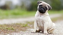 Scientists have found the mutation that makes pugs look like that