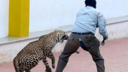 Watch: Leopard trapped in school attacks staff