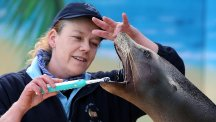 Poppy the sea lion has her teeth cleaned by head sea lion keeper Frances Reid at Blair Drummond Safari Park near Stirling. (PA)
