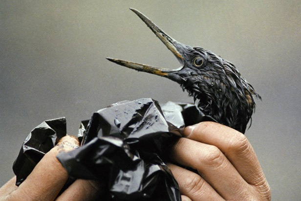 An oil soaked bird is examined on an island in Prince William Sound, Alaska.