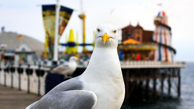How to stop seagulls ruining your seaside fun - BT