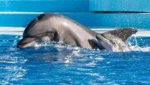 The dolphin calf and its mother at SeaWorld