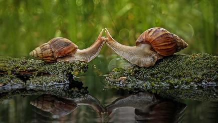 Snails kissing in Indonesia