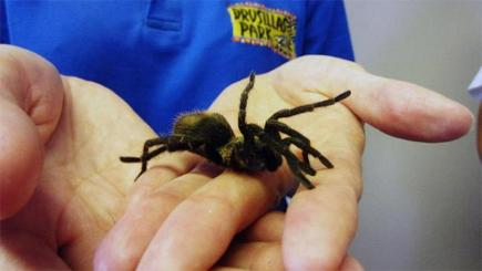 South American tarantula discovered in a shipment of bananas