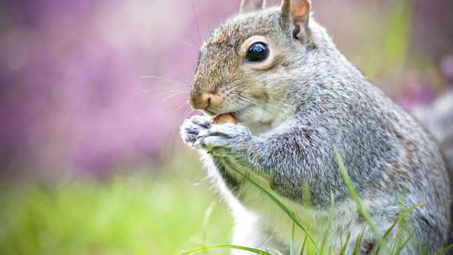 How To Keep Grey Squirrels Out Of Your Garden Bt
