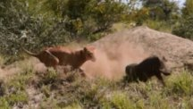 A warthog dashes past a dozing lion