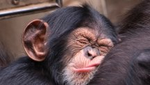 The wonderful moment a young chimp is reunited with his surrogate human parents