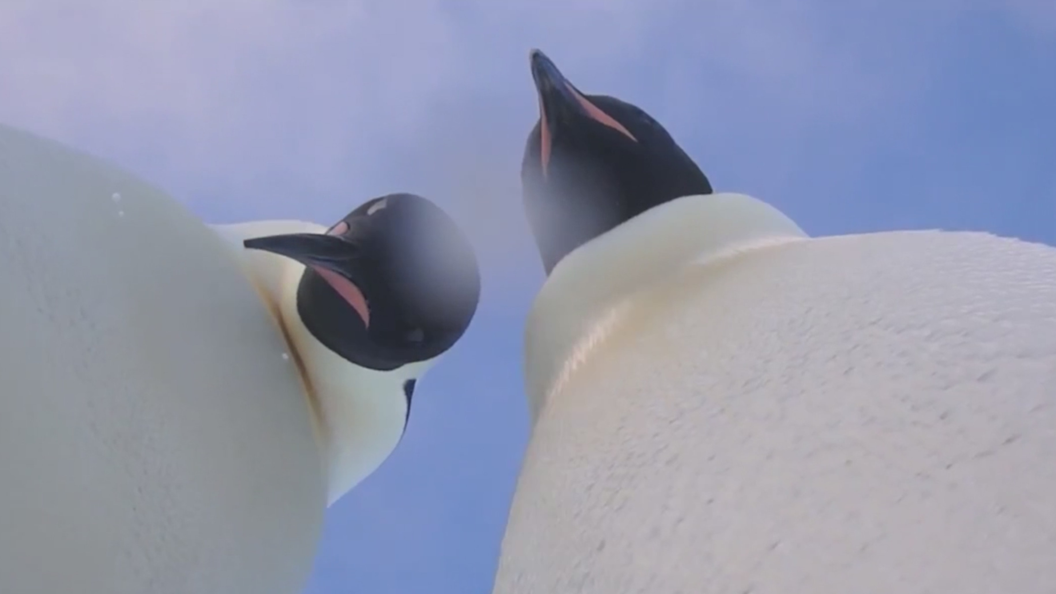 Curious penguins find camera, take video selfie